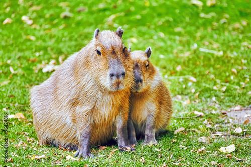 Fotografija  Cute pig water( capybara) in their natural habitat in the outsid