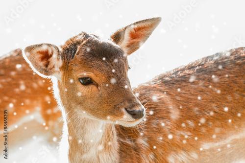 Foto op Plexiglas Ree Rotwild / Rehe im Winter