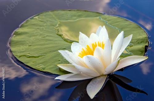 Poster de jardin Nénuphars White lily