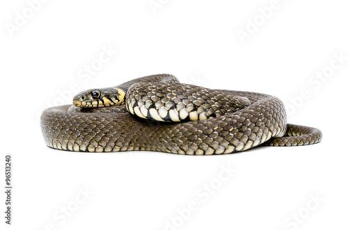 Fotografía  Snake lying isolated on white background
