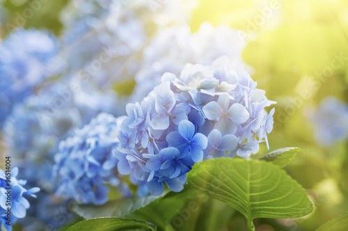 La pose en embrasure Hortensia Hydrangea flowers background