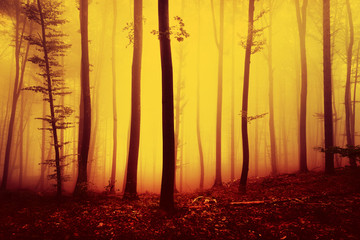 Fototapeta Fire red saturated autumn season foggy forest landscape background. Oversaturated yellow red forest trees background.