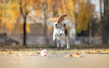 Beagle Dog Chasing Ball And Jumping In Park
