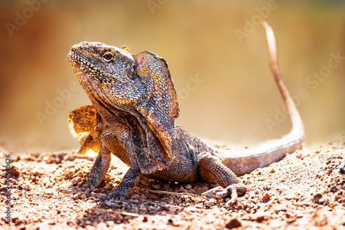 Photo  Closeup Of Alert Frilled Neck Lizard