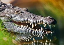 Dangerous American Crocodile I...