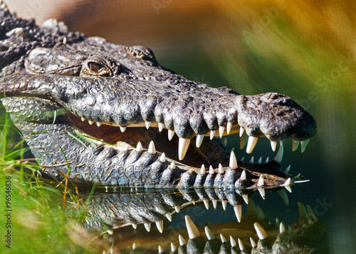 Photo sur Toile Crocodile Dangerous American Crocodile In Water