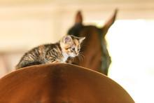 Little Kitten Kitty Cat Animal On Horse Horseback