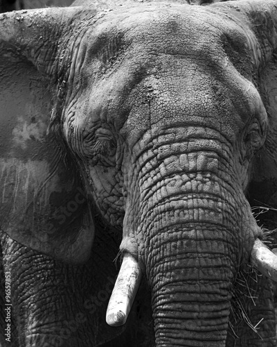 Large Elephant Close Up In Black and White