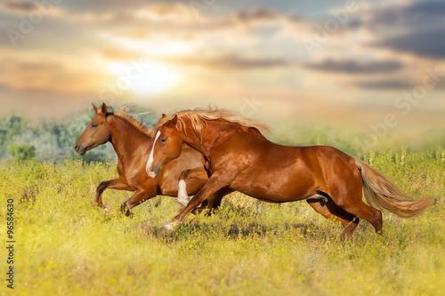 Folia na okno łazienkowe Dwa czerwone konie galopujące po łące