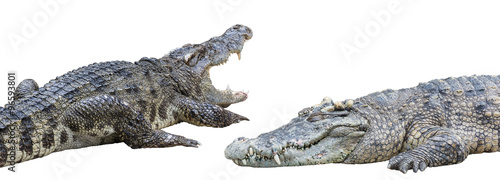 Foto op Plexiglas Krokodil Crocodiles Isolated on White Background