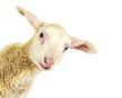 canvas print picture - Lamb