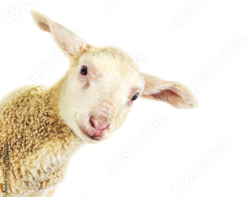 Foto op Canvas Schapen Lamb