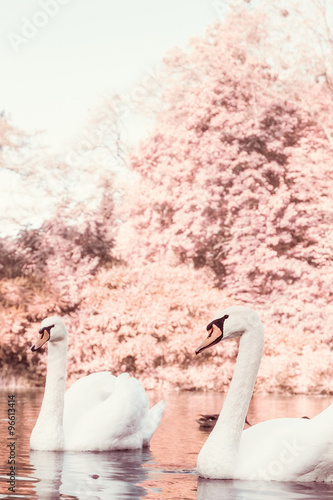 Poster Cygne Pair of white swans on the lake