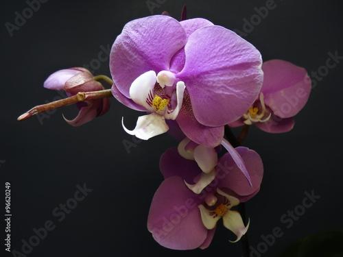 Papiers peints Orchidée Phalaenopsis.