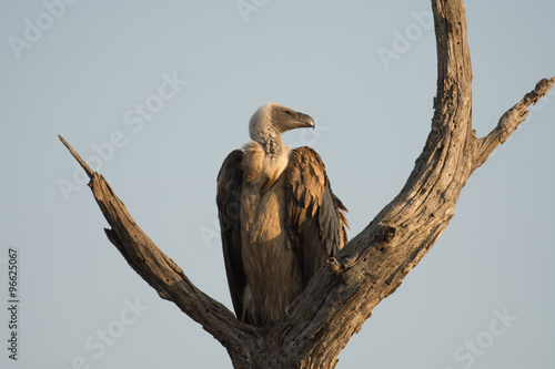 White-backed vulture. Wallpaper Mural