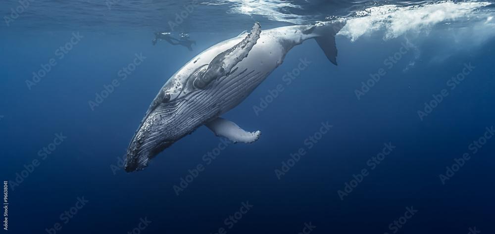 Fotografía  Gorgeous humpback whale, Réunion island - France.