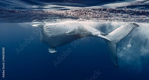 Fotomural  Humpback whale hug, Réunion island - France.