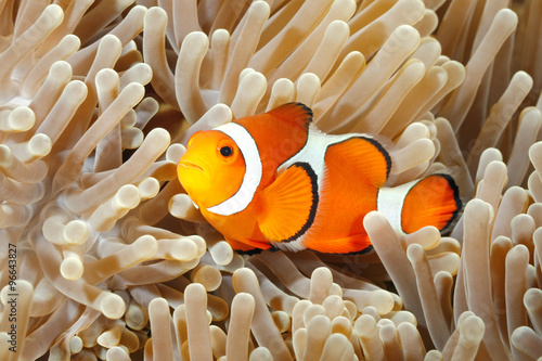 Clown Anemonefish Wallpaper Mural