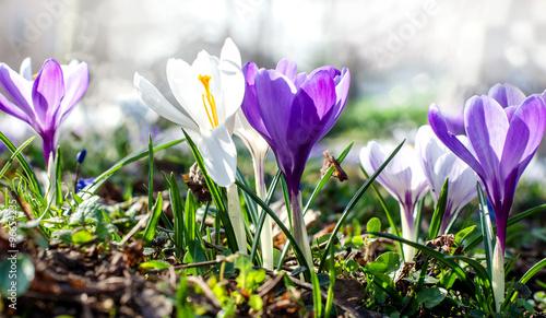 Deurstickers Krokussen Frühlingserwachen: Wiese mit zarten Krokussen :)