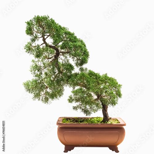 Fotobehang Bonsai bonsai tree of chinese juniper