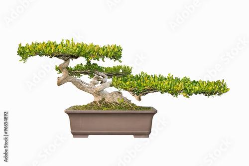 bonsai tree of chinese littelleaf box