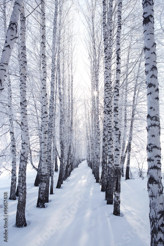 Photo  birch in winter