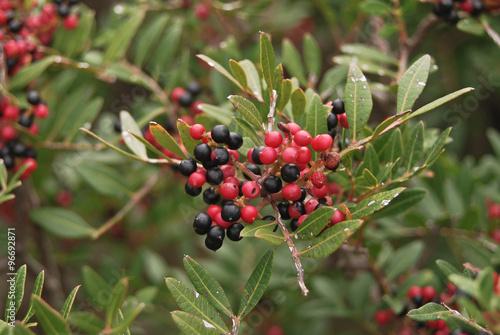 Fotografía  Lentisco (Pistacia lentiscus) ramo con Bacche
