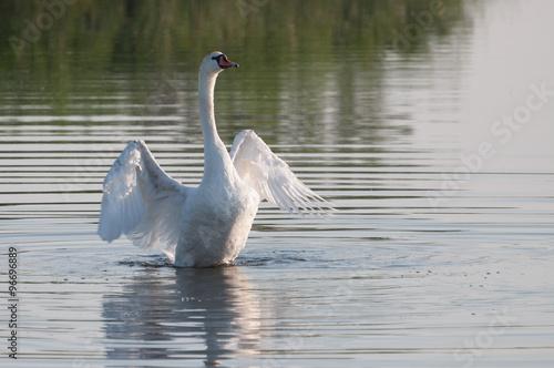 Poster Cygne graceful white swan enjoying water