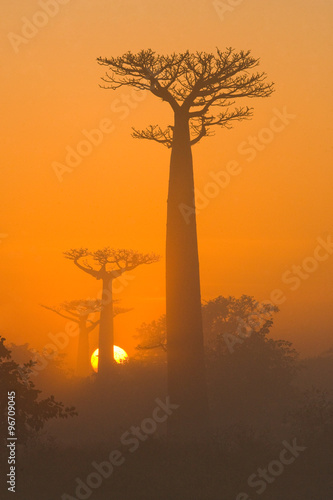 Recess Fitting Baobab Avenue of baobabs at dawn in the mist. General view. Madagascar. An excellent illustration.