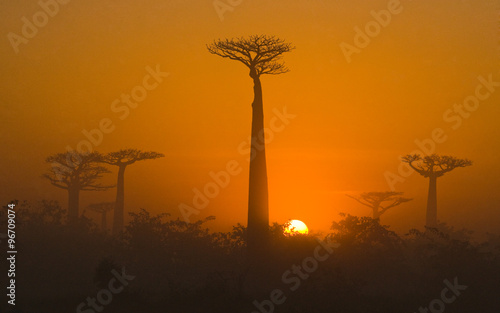 Photo sur Toile Bestsellers Avenue of baobabs at dawn in the mist. General view. Madagascar. An excellent illustration.