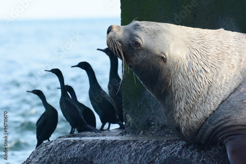 Plakat Steller Sea Lion and Cormorants
