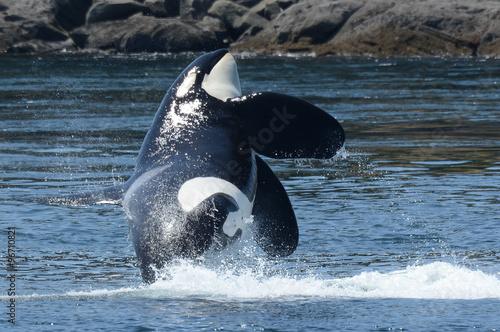 Wild Killer Whale Breaching