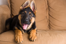 Cute Puppy Dog German Shepherd...