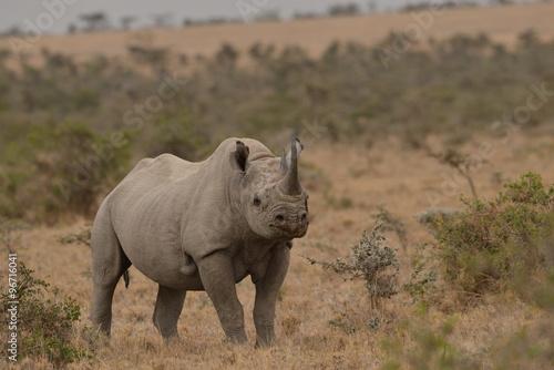 In de dag Neushoorn Black Rhino in the savannah