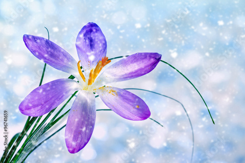 Crocus flower under falling snow