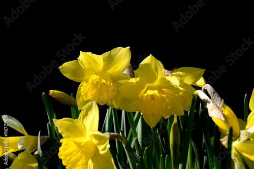 In de dag Narcis Gelbe Narzissen mit Schwarzem Hintergrund
