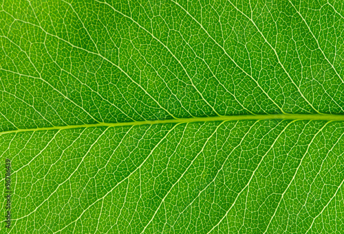 Obraz  green leaf texture - fototapety do salonu