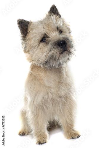 Fototapeta purebred cairn terrier obraz