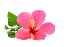 Pink Hibiscus Isolated On White Background