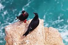 Inca Tern, Larosterna Inca, On The Cliff, Paracas, Peru