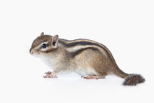 Wild Life. Chipmunk Isolated O...