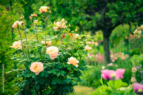 Bush of beautiful roses in a garden #96854680