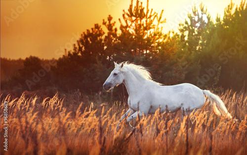 Obraz na plátne white horse run