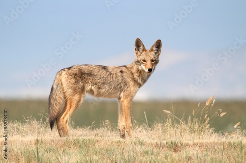 Canvas Western Coyote