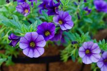 Purple Million Bells - Calibrachoa