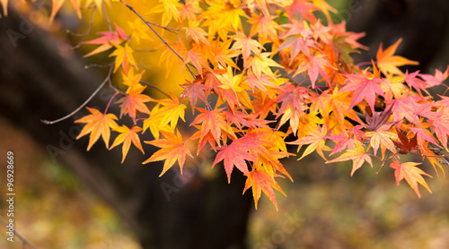 Yellow maple leaf in Japan