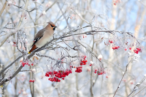 Photo  Waxwing bird sitting on a branch of rowan in frost
