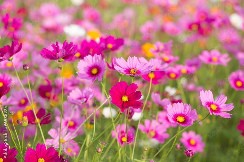Fototapety, obrazy: Pink cosmos flower fields