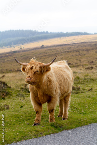 Canvas Prints Highland Cow Highland cow at the side of the road on Dartmoor, Devon, England