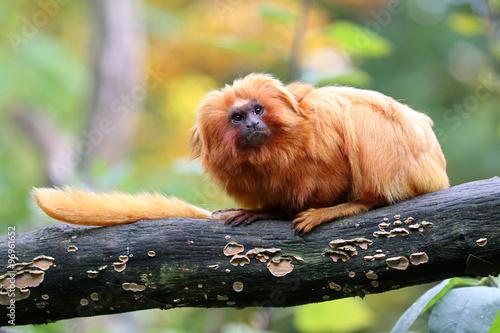 Photo  Golden Lion Tamarin